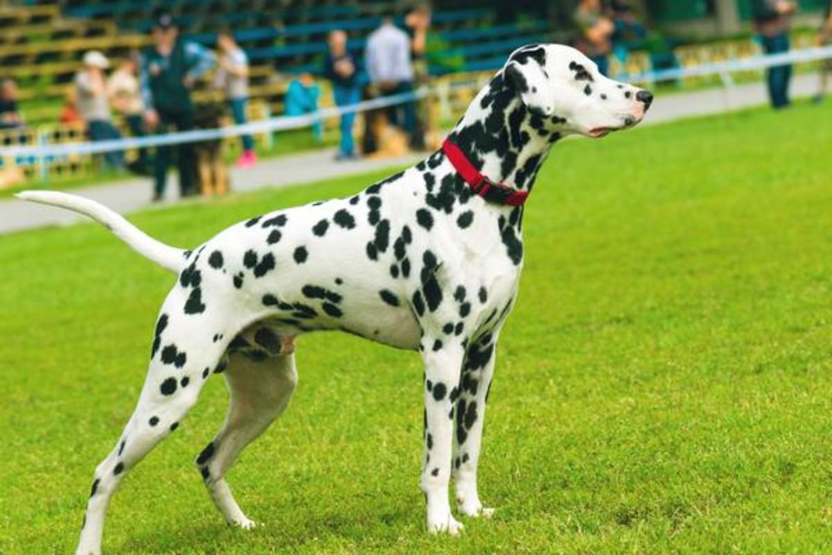 The Dalmation