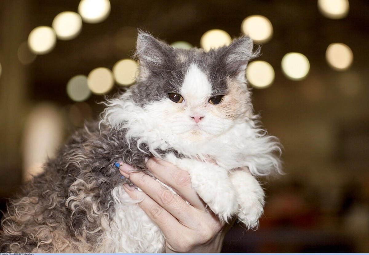 A prize winner at a cat show