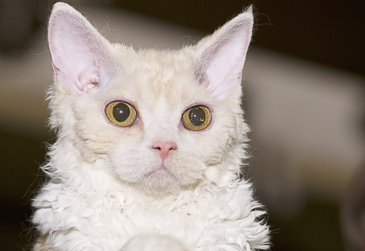 A sheep cat (aka a Selkirk Rex)