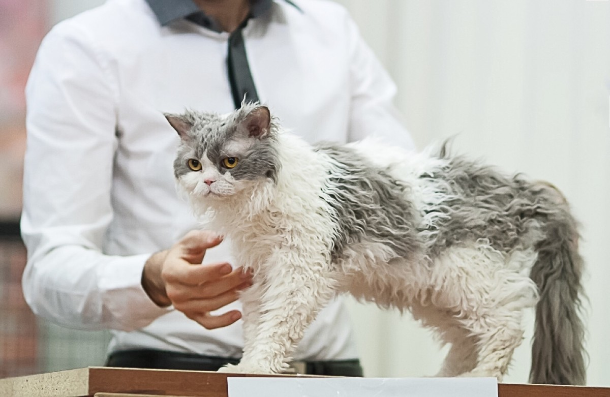 A Selkirk Rex cat at a show