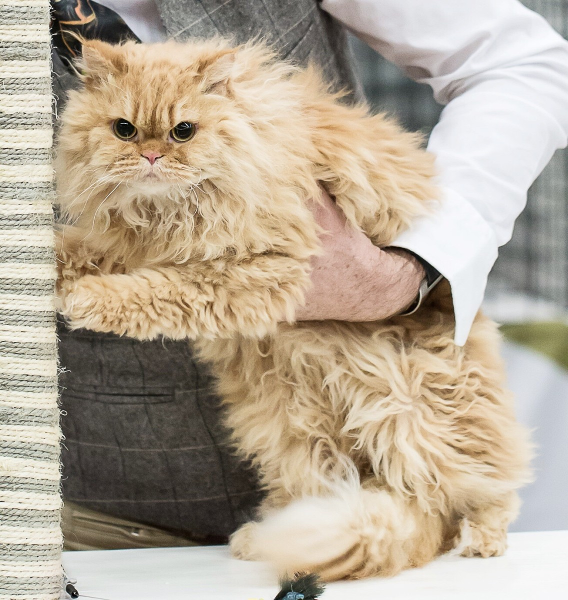Another long-haired Selkirk Rex