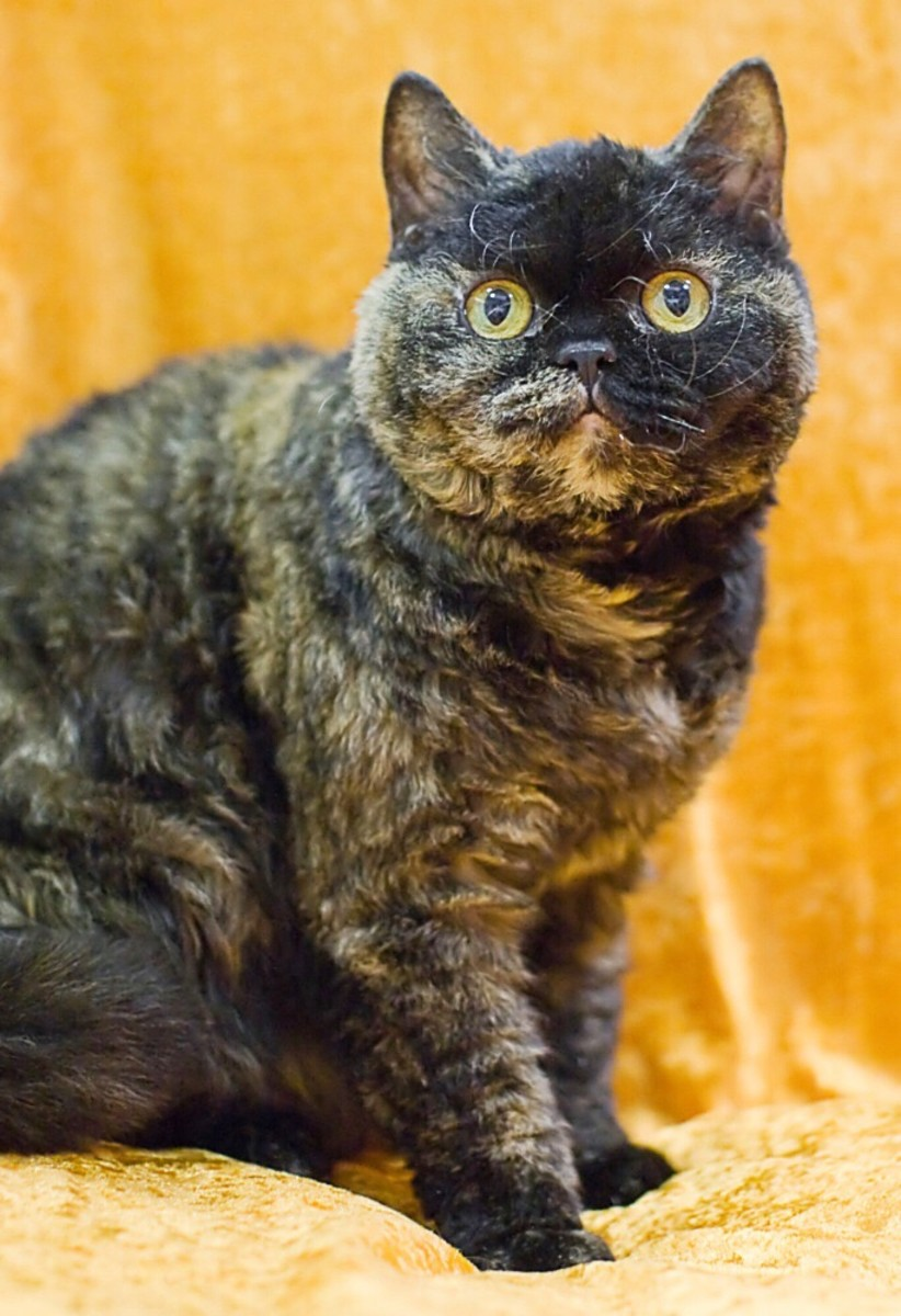 A short-haired Selkirk Rex