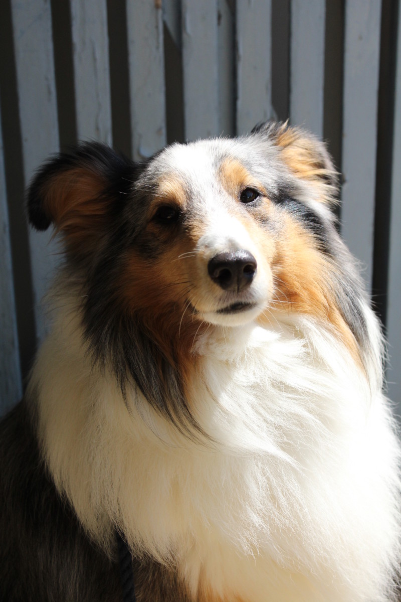Blue merle Shetland Sheepdog (sheltie). Commonly merle dogs will have at least one blue eye, but in this example, due to the tan markings on the face, both eyes are brown.