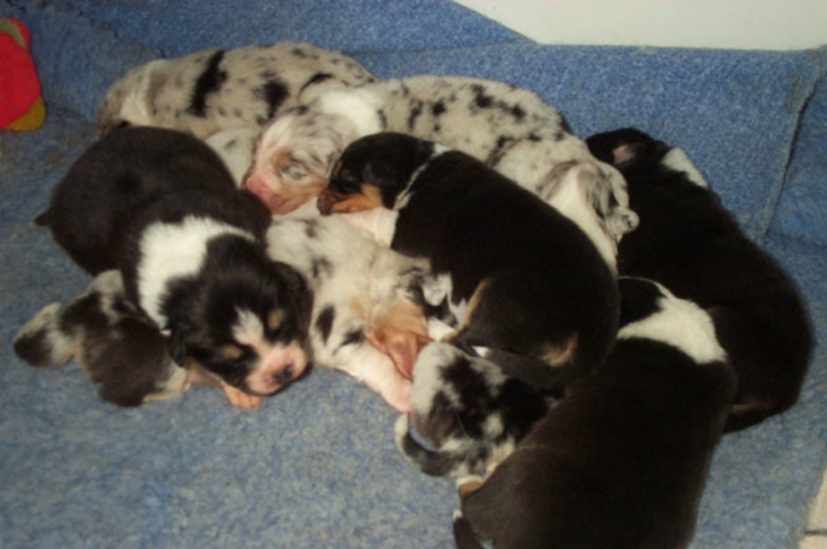 A mixed litter of puppies with non-merles (mm) and merles (Mm)