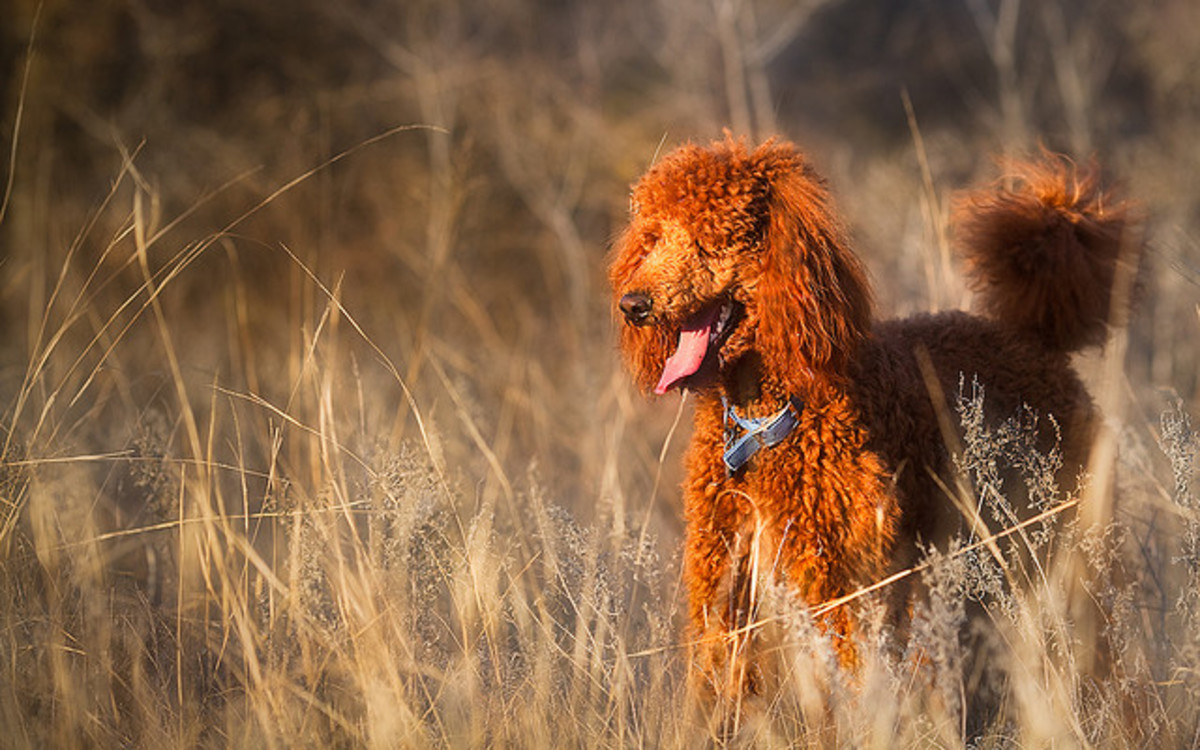 The Standard Poodle does not shed much and can be trained to hunt.