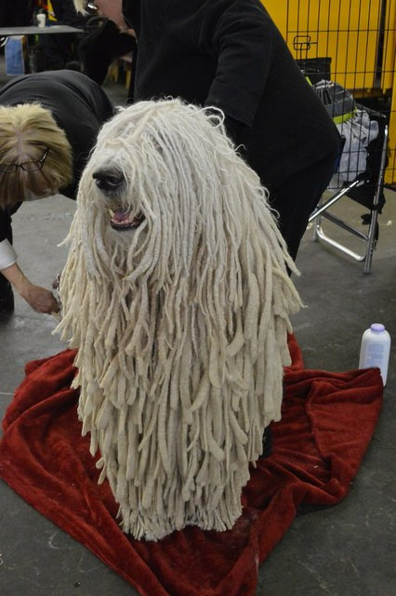 The Komondor does not shed much.