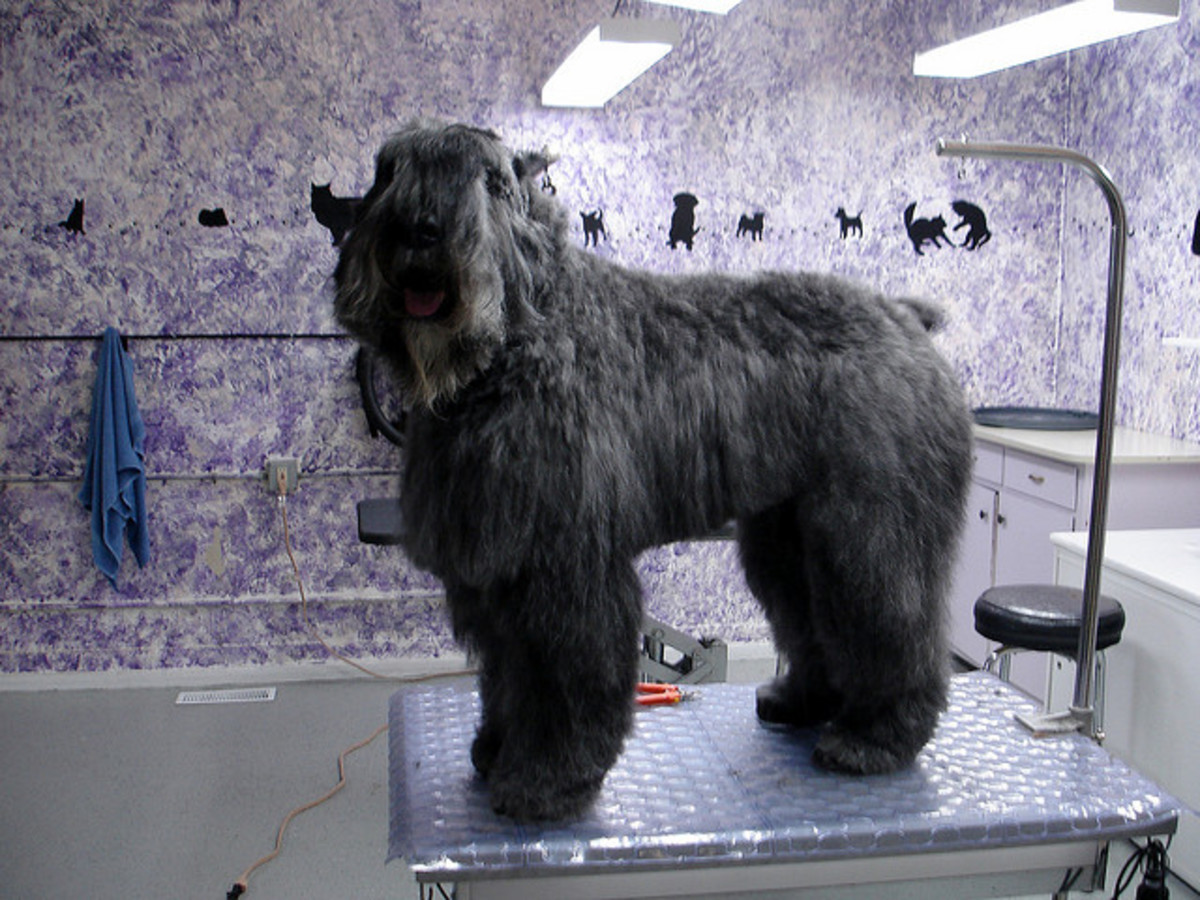 The Bouvier is another great large dog breed that does not shed much, but will need grooming.