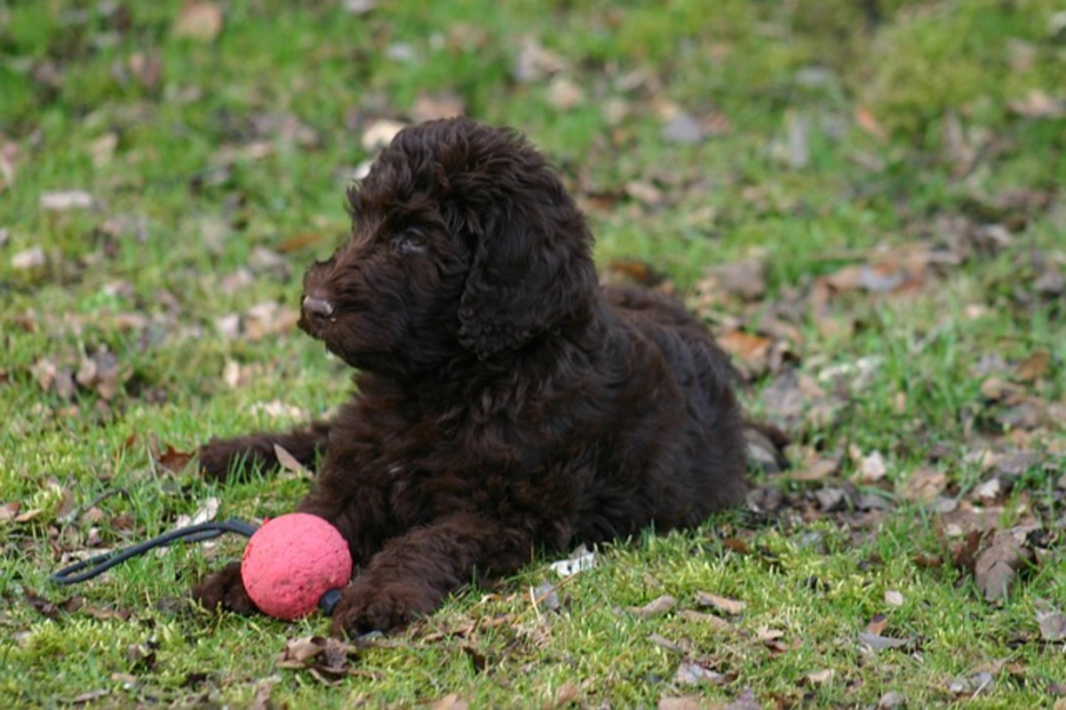 Labradoodles and other Poodle crosses do not shed much.