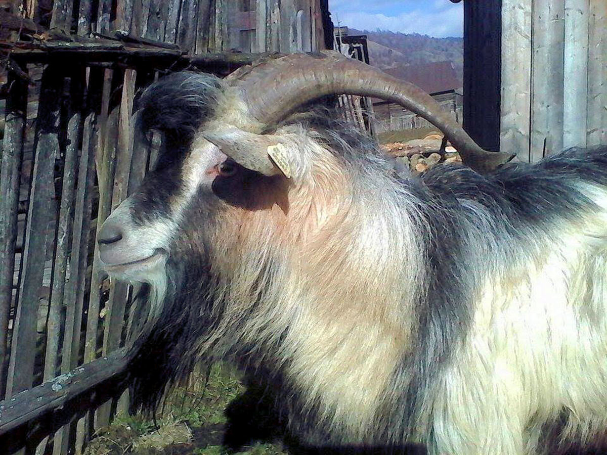 The other side of the goat: Goats rarely turn the other cheek.