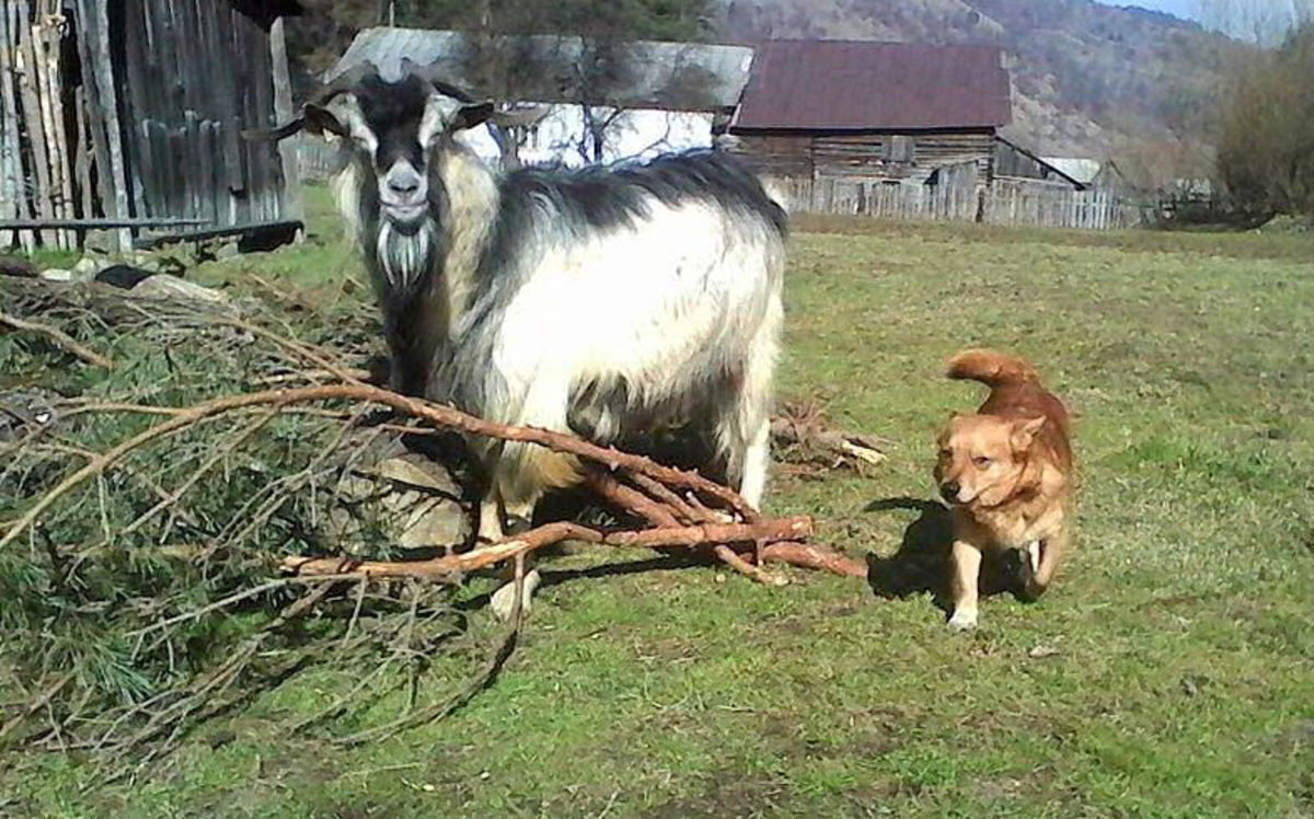 Goats can and do get along with other pets, like dogs.