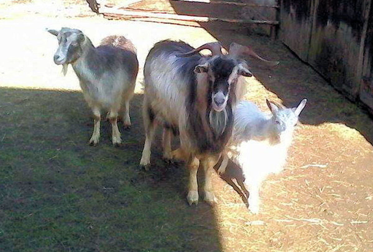 Goats like the company of other goats. A group of goats is called a 'tribe.'