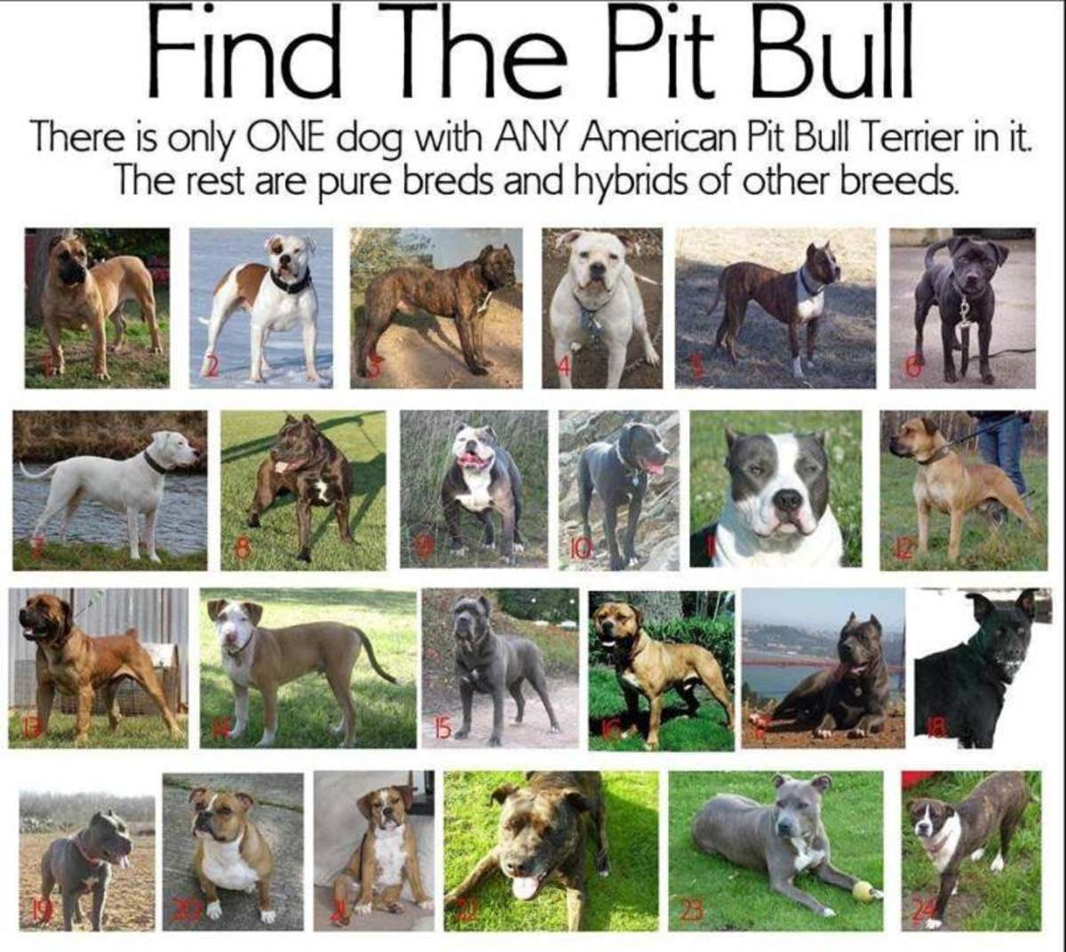 How many people can find the pit bull?