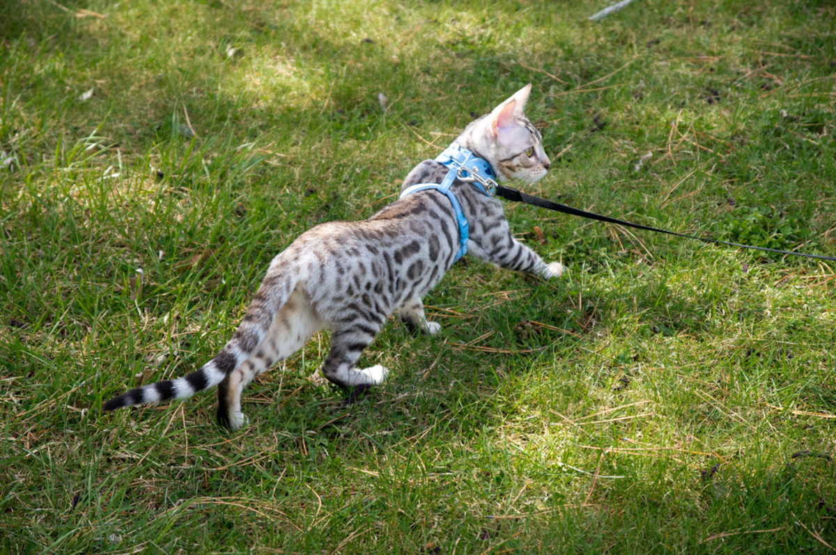 Savannah cat: fully domesticated?