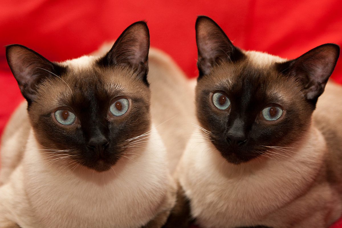 Siamese cat breed 'fully domesticated'