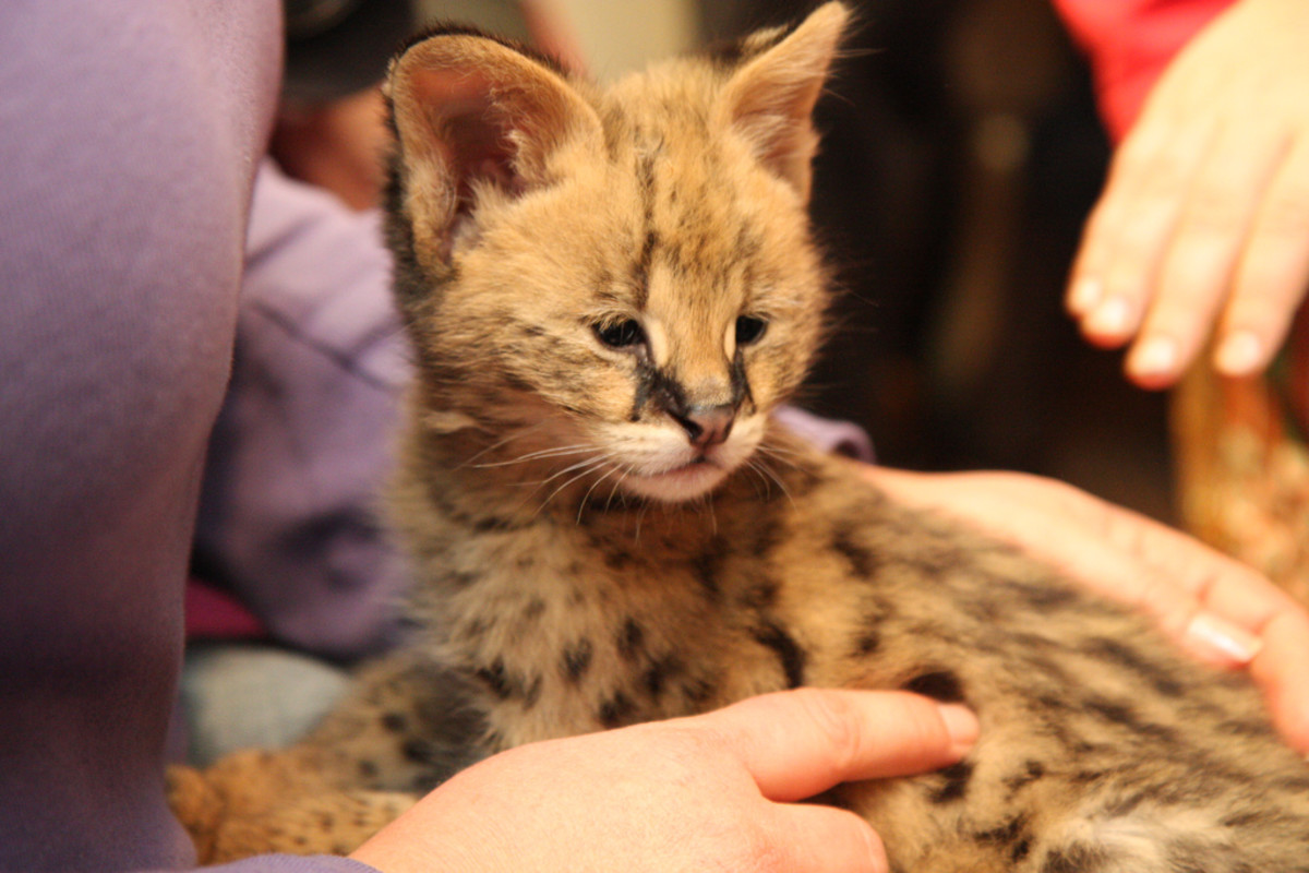 Exotic animals like this Serval kitten may become far more difficult to manage once they reach maturity.