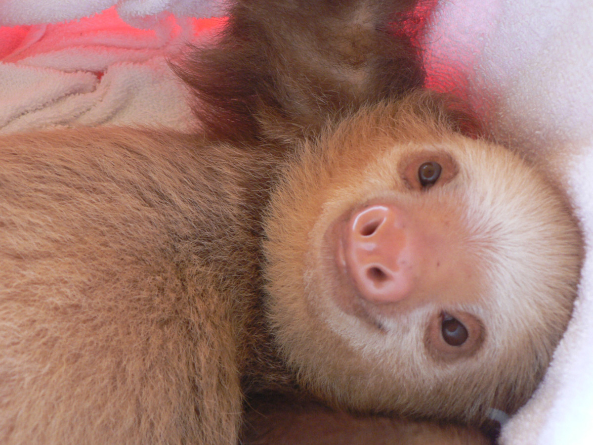 Sloths are extremely difficult to care for and should not be purchased by beginners on a whim.