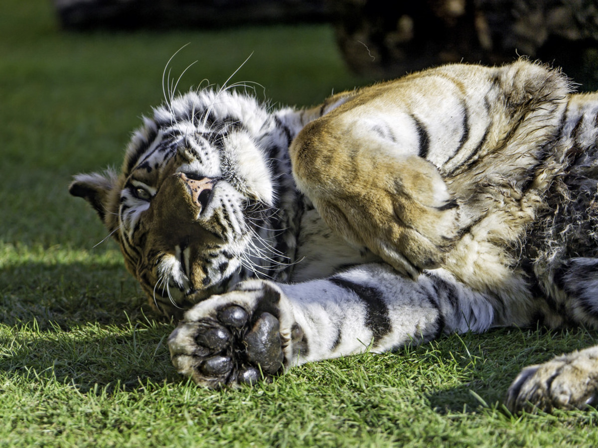You'd be surprised at the variety of species available for sale online—even tigers like this one can be purchased with the proper permits.