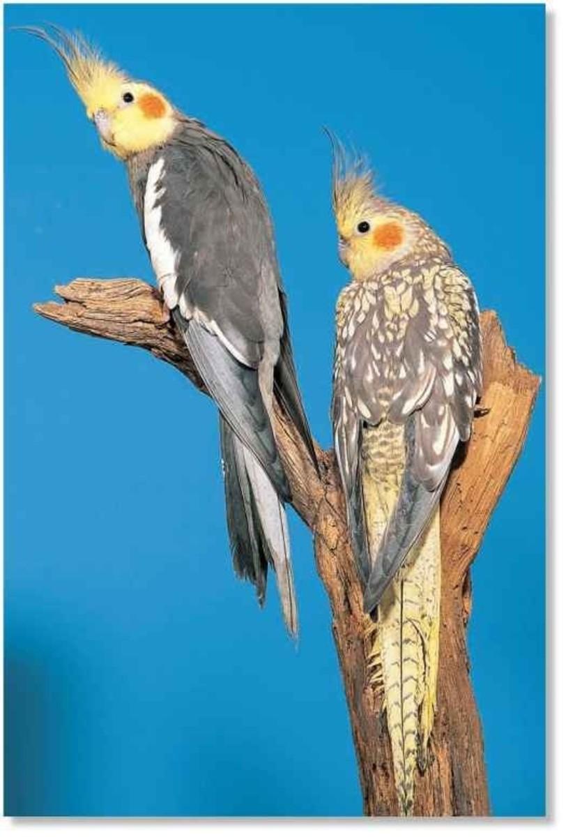 A normal male cockatiel (left) and a pearl male cockatiel (right).