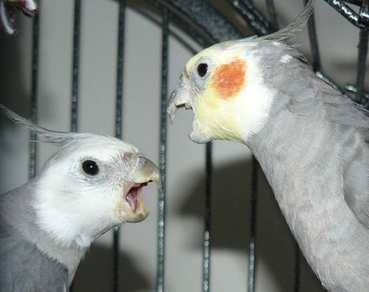 A Normal male cockatiel and a male Whiteface cockatiel who are quite upset with each other.