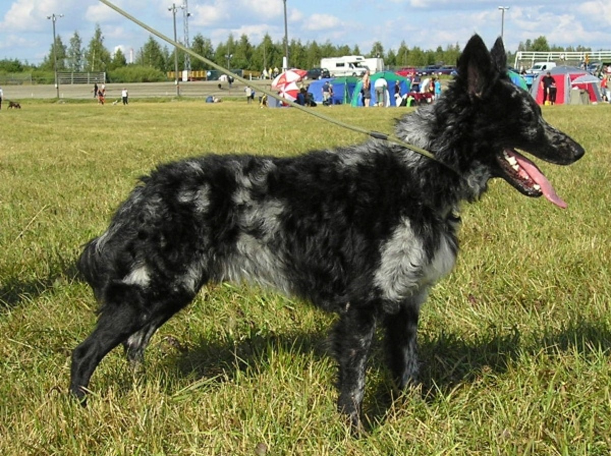 The Mudi is one of the rarest breeds in Hungary, but is an excellent herding dog nonetheless.