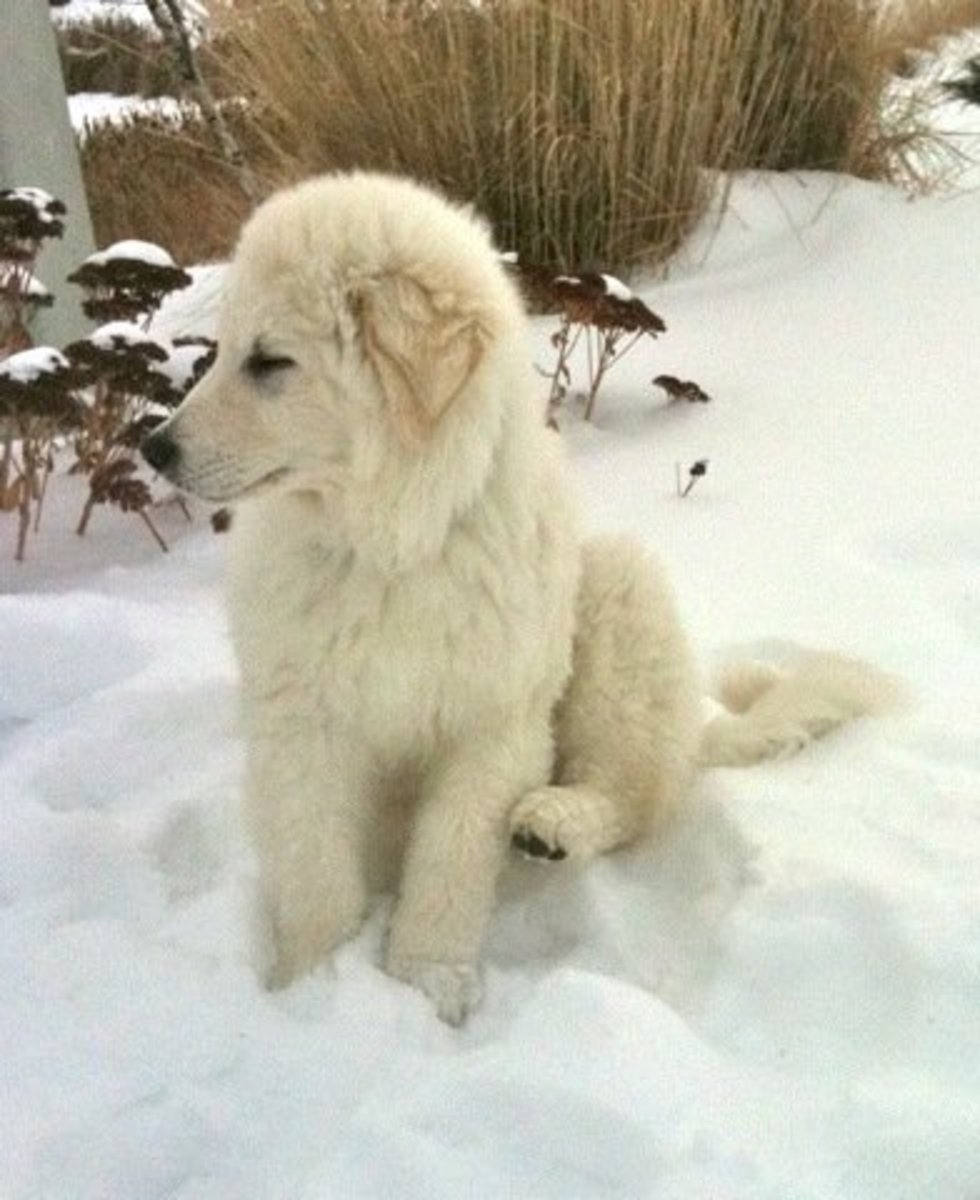 The Kuvasz is intelligent, loyal, independent, and a good family member.