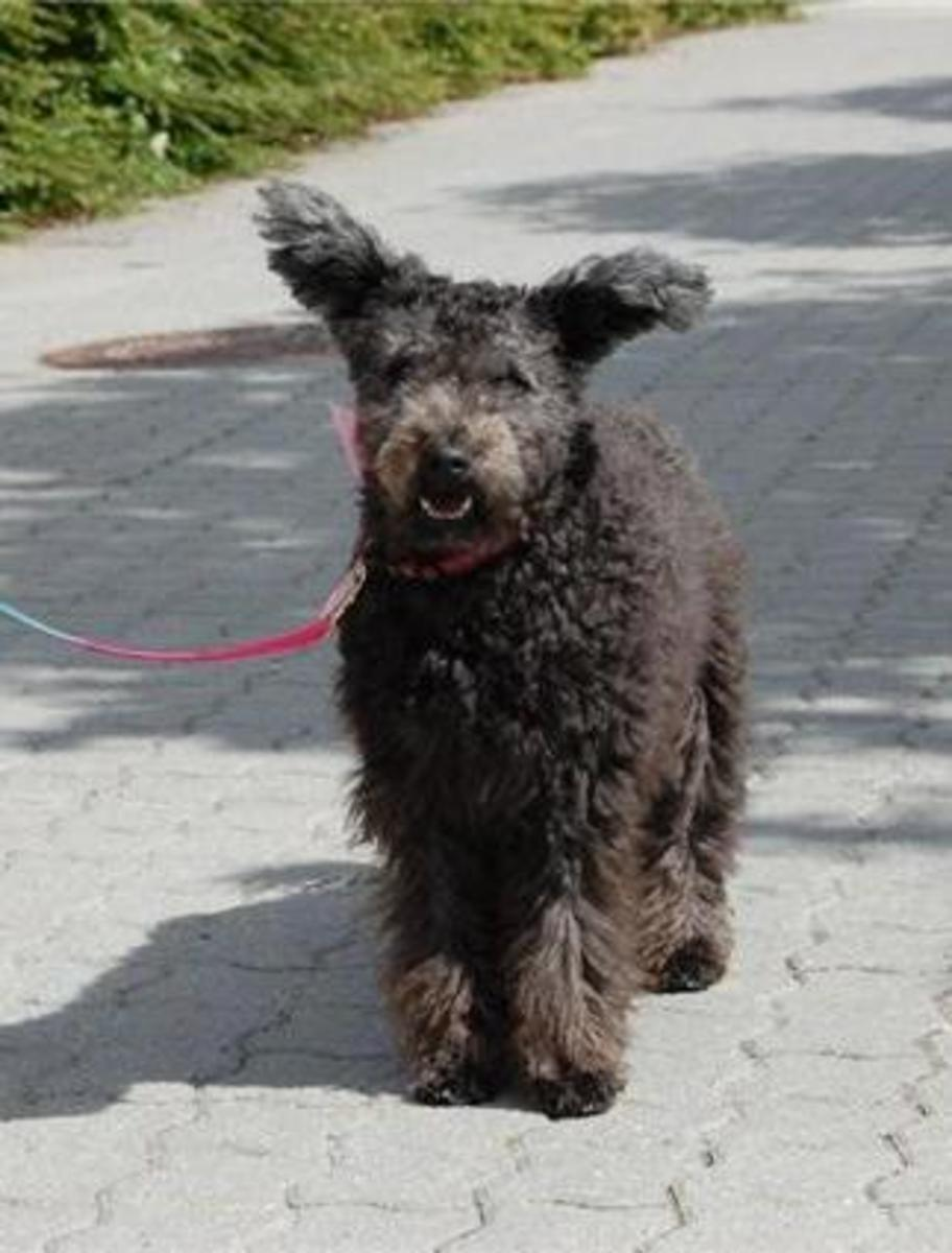 Those ears are special and make the Pumi stand out in the dog world.