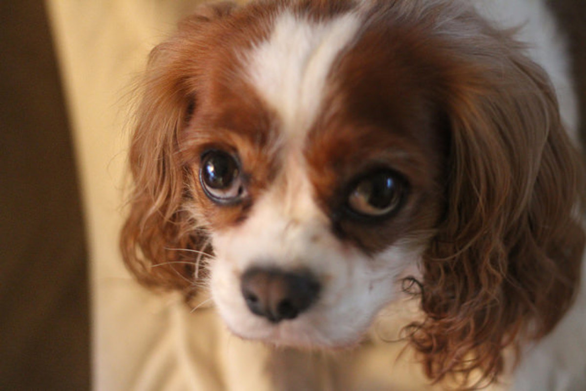 The Cavalier King Charles Spaniel is an affectionate small dog for the family.