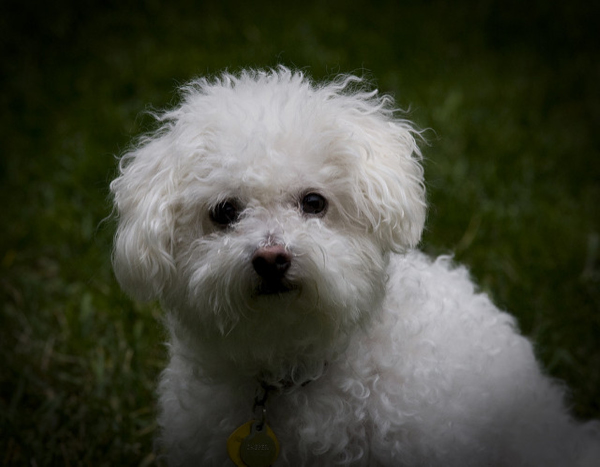 The Bichon is one of the best small dogs for any family.