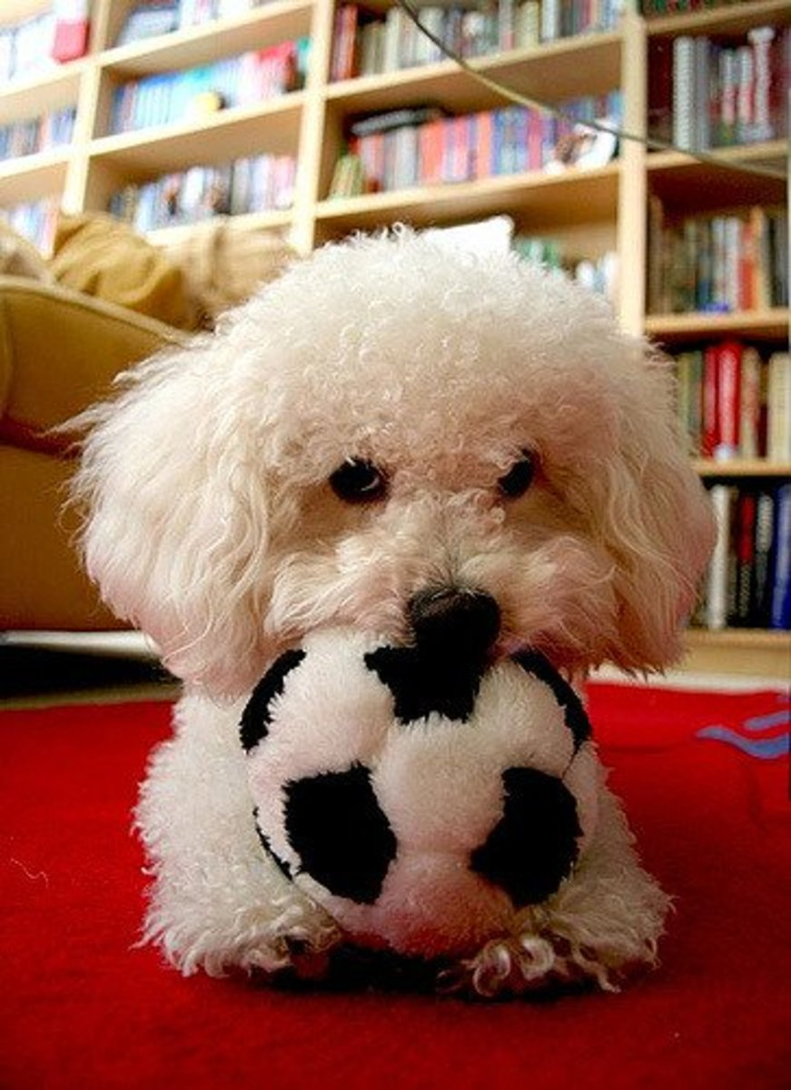 The Bolognese is similar to the Bichon but a little smaller.