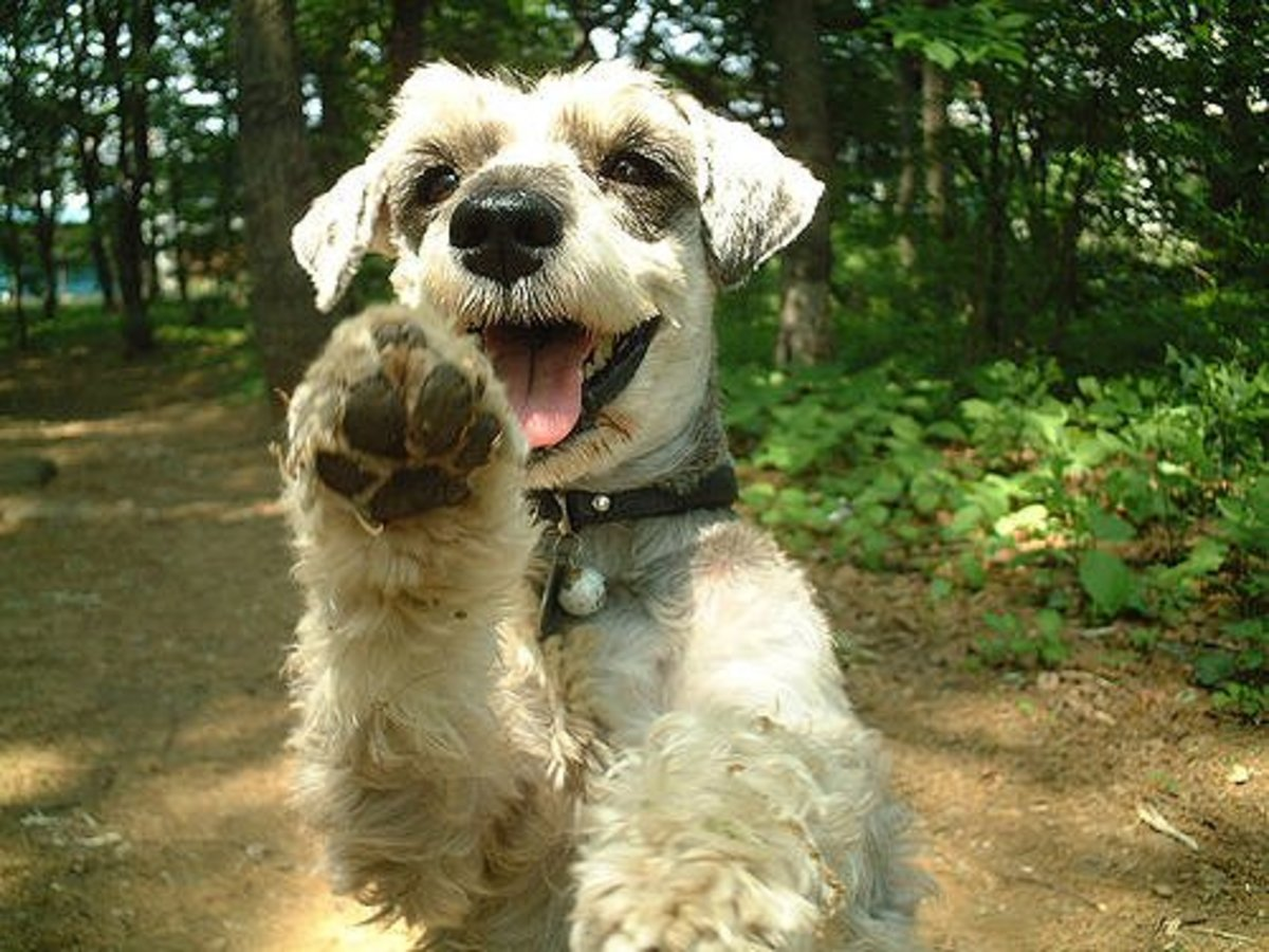 The Minature Schnauzer is a great small family dog.