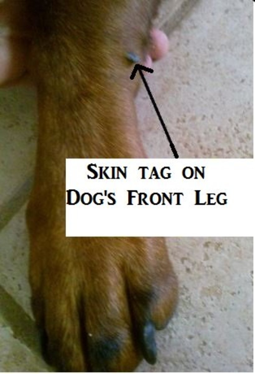 facts-about-skin-tags-in-dogs-and-dog-skin-tag-removal