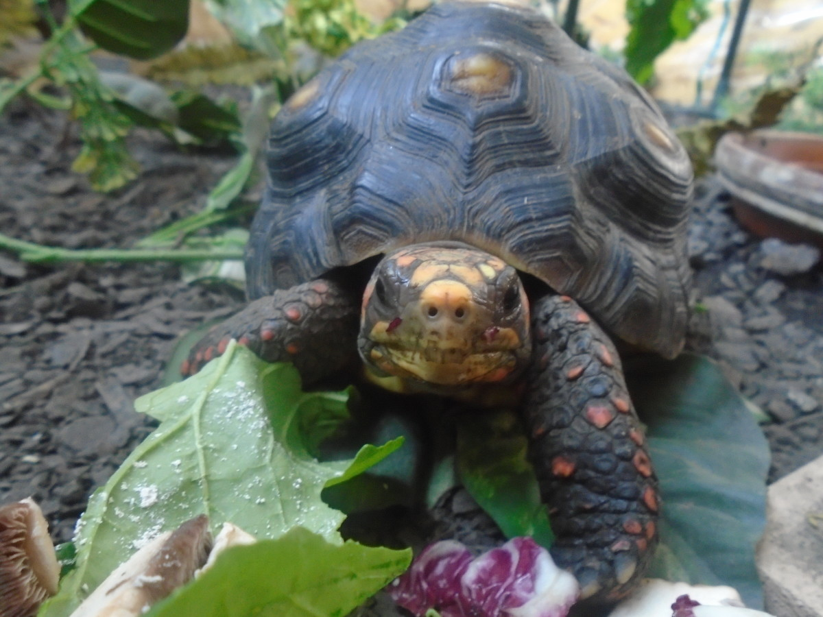 Jinora the red foot tortoise approves this message!