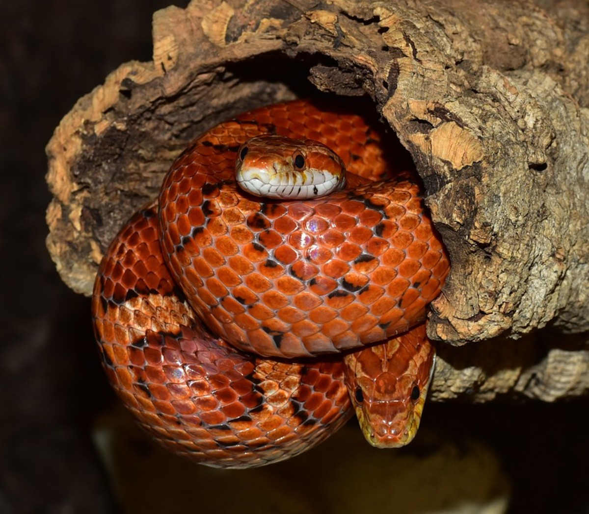 Corn snakes come in all sorts of colors and patterns (called morphs).