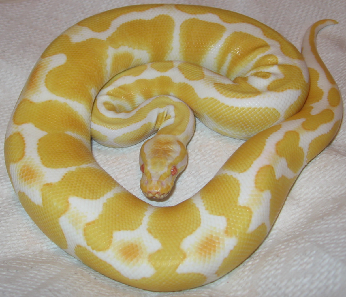 Ball pythons, like this albino ball python, are fairly docile snakes.
