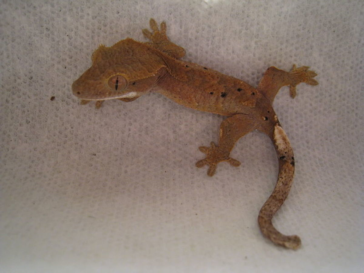 Crested geckos have cute crests above their eyes.