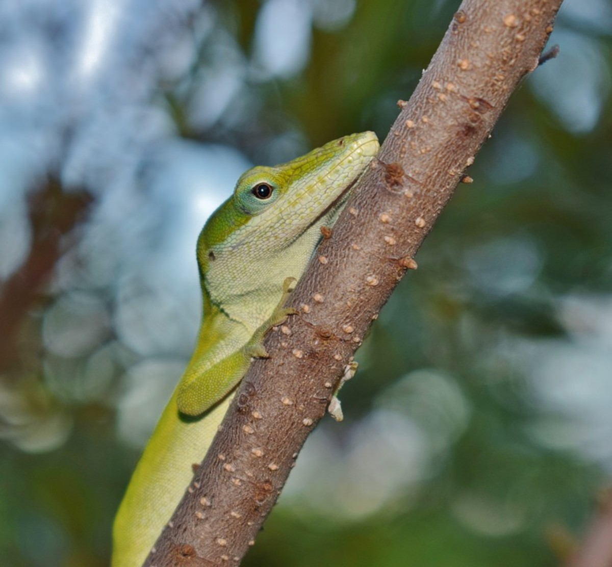 Anoles are small, skittish, very active lizards with fun personalities.