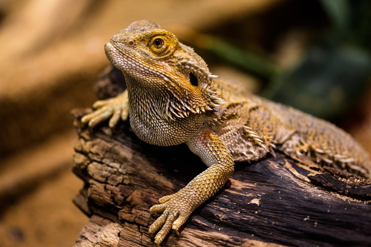 Bearded dragons are the largest, and one of the easiest, pet lizards.
