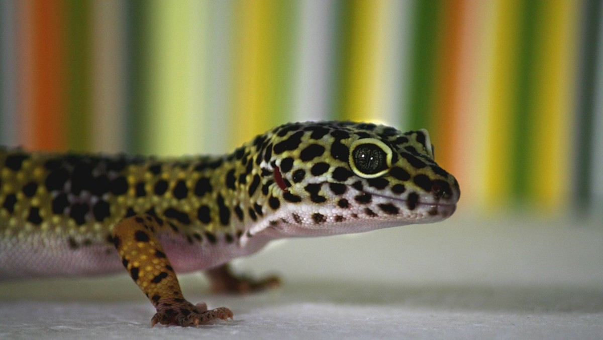 A healthy leopard gecko has a chubby tail. This is where they store extra fat as an energy reserve.