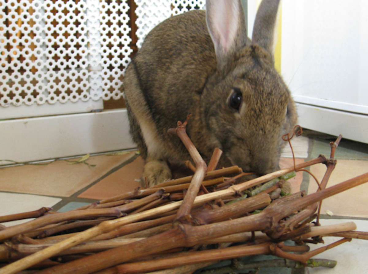 Rabbits' incisors continue to grow during maturity. Wooden chews help them trim their teeth as they grow.