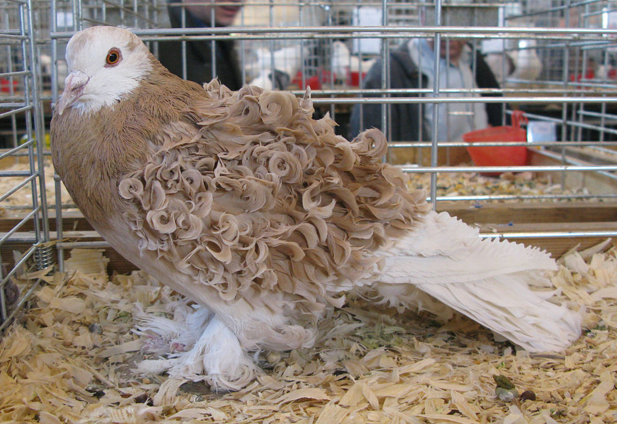 the-curly-hair-and-feather-gene-in-domestic-animals