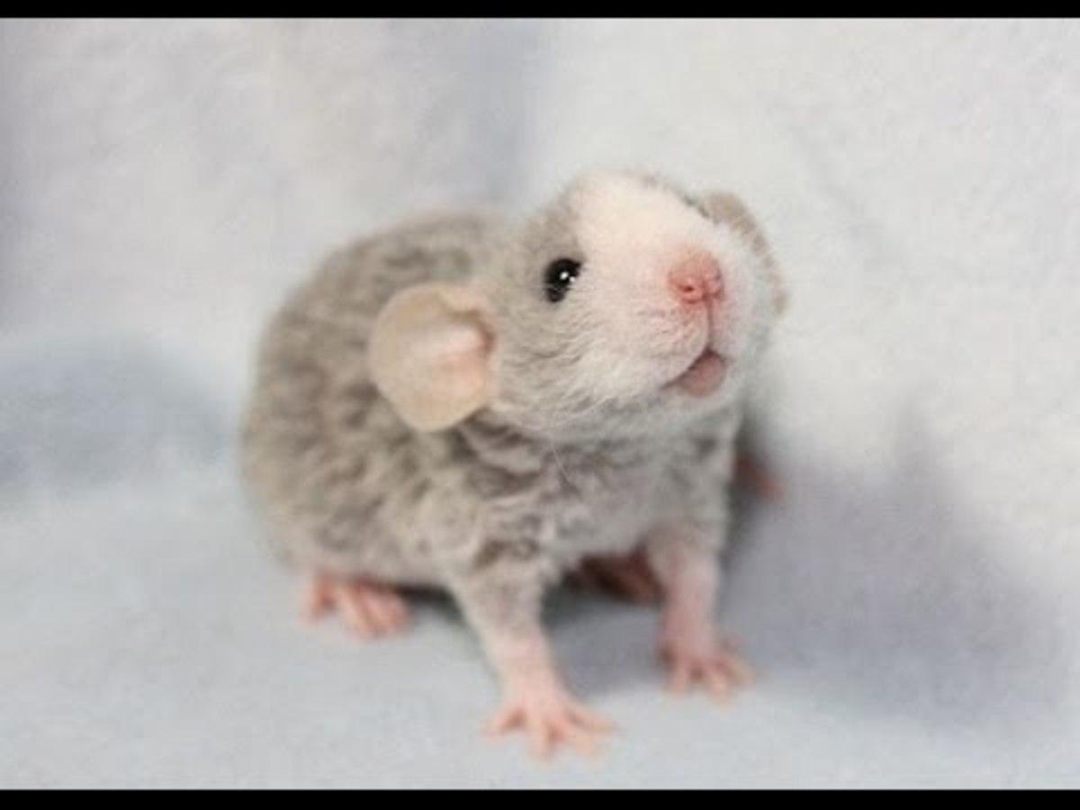 Rex rat - baby