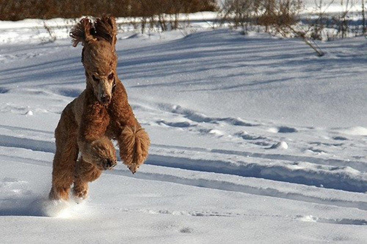 A Standard Poodle playing in the snow.