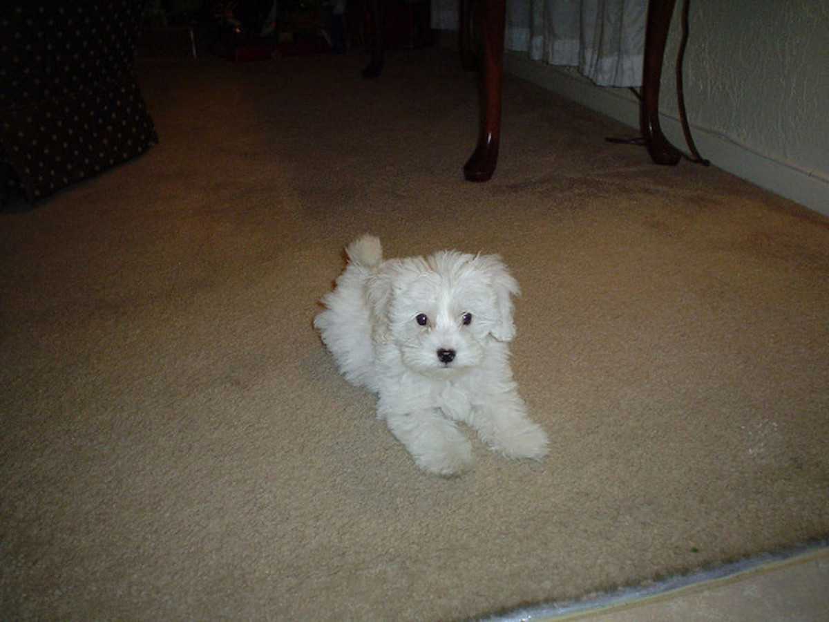 Maltipoo owners say that their dogs are as smart as a Poodle and as cute as a Maltese.