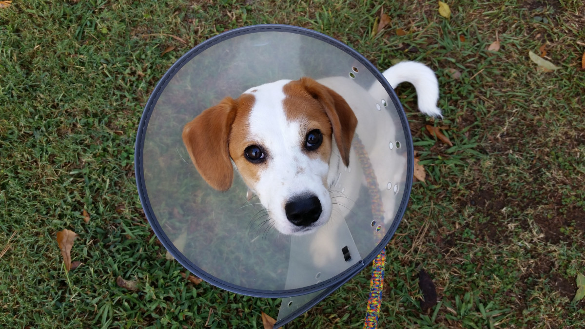 An e-collar can be used to prevent dogs from licking or chewing on their hot spots.