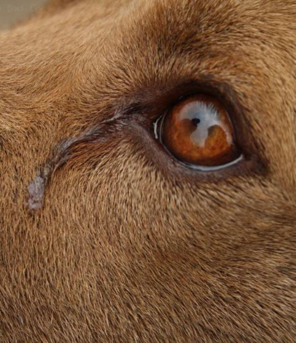 how to make dog trears