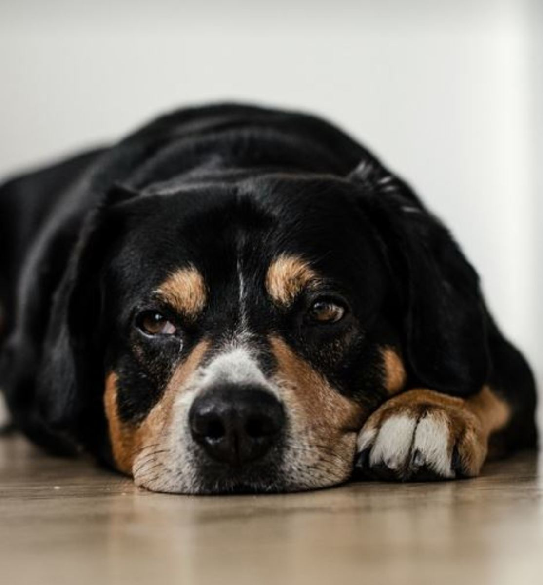 can-dogs-cry-tears-like-humans