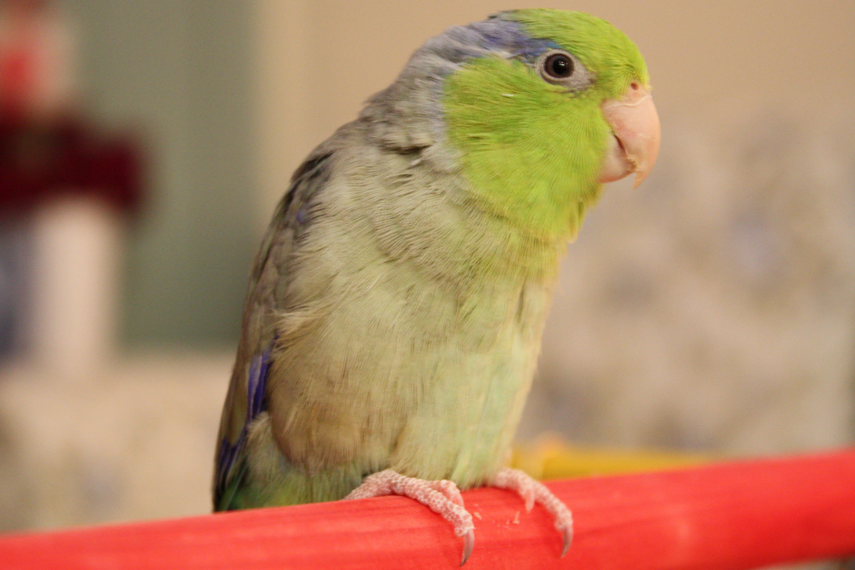 8 Pet Birds With Short Life Spans (Under 20 Years) | PetHelpful