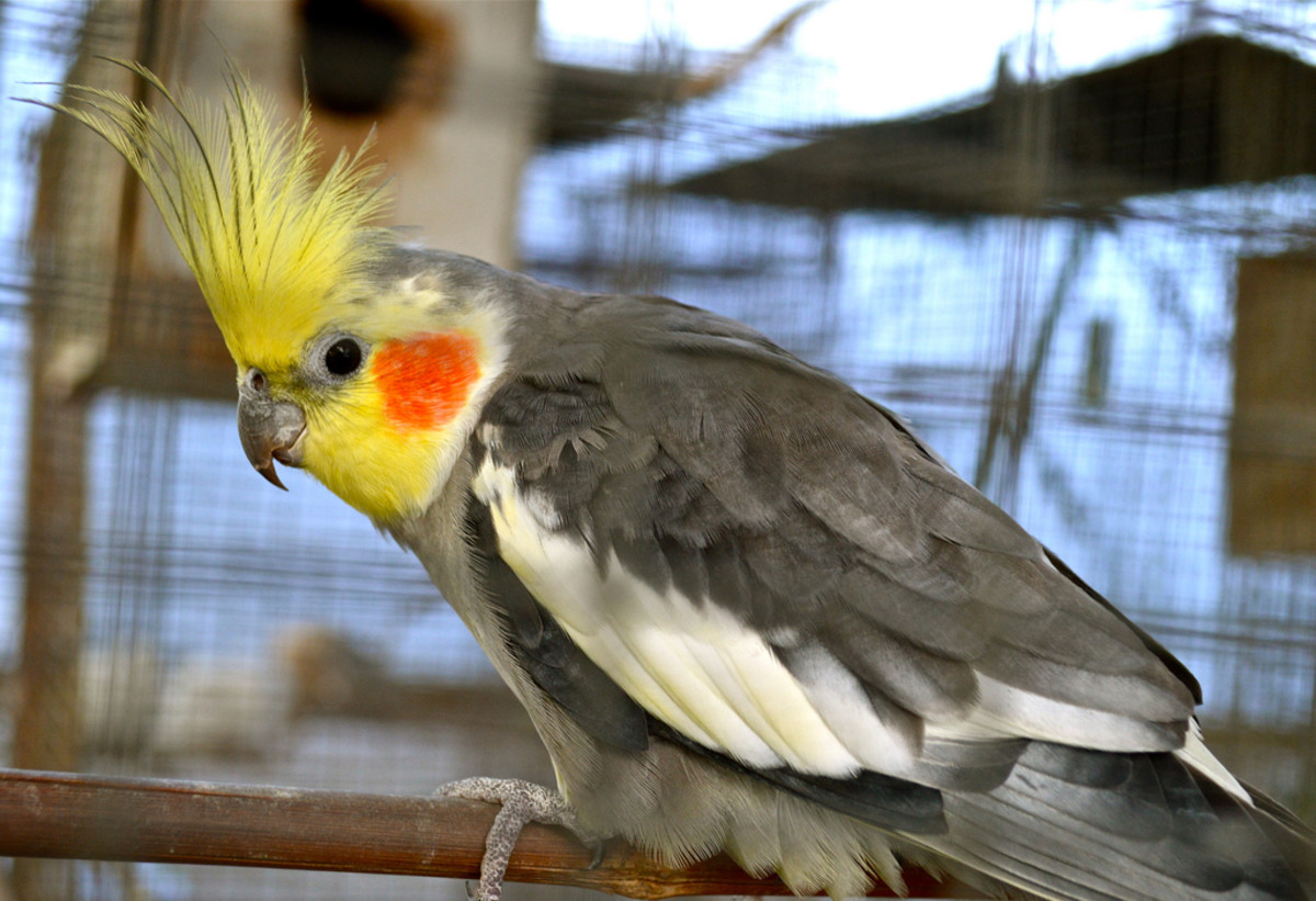 8 Pet Birds With Short Life Spans (Under 20 Years ...