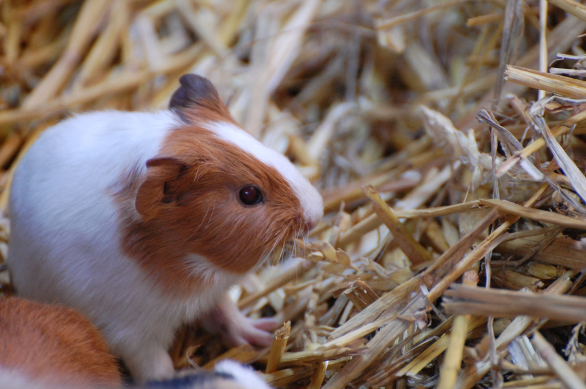 All cavies, healthy or otherwise, should have plenty of access to hay.