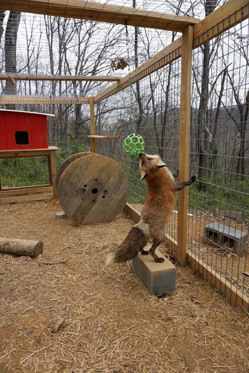 A fox playing with a hanging toy.